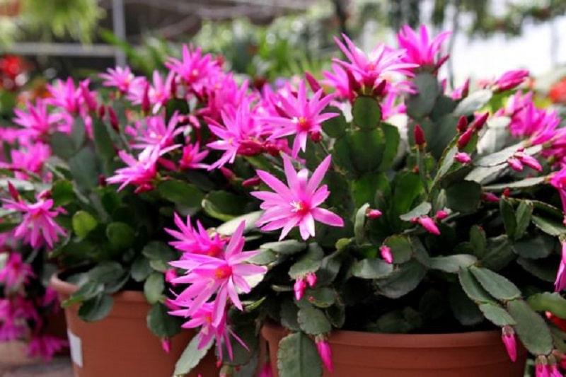 Quelles sont les plantes grasses à fleurs les plus fréquentes